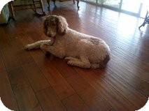 Standard Poodle Dog for adoption in Riverside, California - MeMe