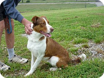 English Springer Spaniel Mix Dog for adoption in Zanesville, Ohio - # 133-12 - RESCUED!