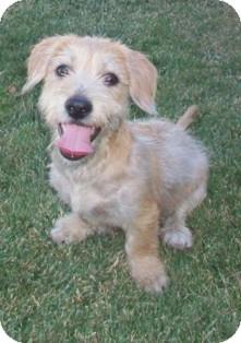 Basset Hound/Dachshund Mix Puppy for adoption in Tustin, California - Yogi