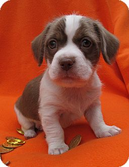 Spaniel (Unknown Type)/Beagle Mix Puppy for adoption in Irvine, California - Zinc