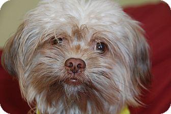 Shih Tzu Mix Dog for adoption in Philadelphia, Pennsylvania - Pete