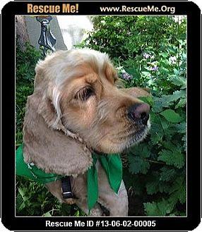 Cocker Spaniel Dog for adoption in Boulder, Colorado - Hanson