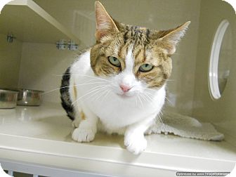 Domestic Shorthair Cat for adoption in Morden, Manitoba - Kia