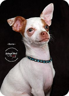 Chihuahua/Fox Terrier (Toy) Mix Puppy for adoption in Phoenix, Arizona - Berrie
