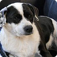 Adopt A Pet :: Taffy - dewey, AZ
