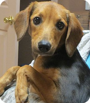 Beagle/Dachshund Mix Puppy for adoption in Salem, New Hampshire - Paige