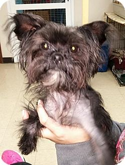Yorkie, Yorkshire Terrier Mix Puppy for adoption in Seville, Ohio - Inky
