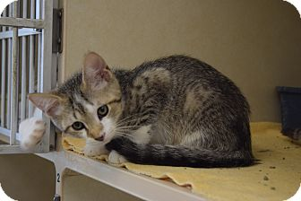 Domestic Shorthair Kitten for adoption in Bucyrus, Ohio - Nicholas Nickelby