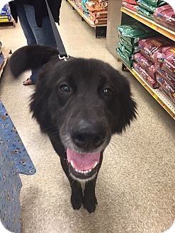 Shepherd (Unknown Type) Mix Dog for adoption in Brick, New Jersey - Klaus