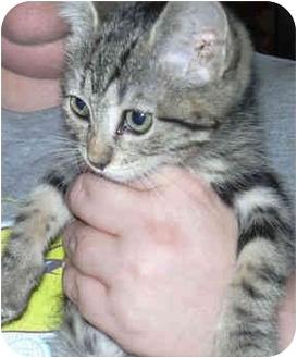 Domestic Shorthair Kitten for adoption in West Warwick, Rhode Island - Fae