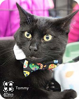 Domestic Shorthair Cat for adoption in Merrifield, Virginia - Tommy