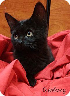 Domestic Shorthair Kitten for adoption in Covington, Kentucky - Cranberry