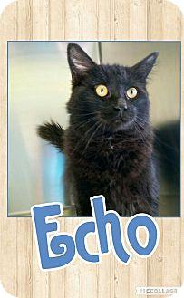Domestic Mediumhair Cat for adoption in Edwards AFB, California - Echo