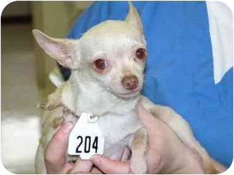 Chihuahua Dog for adoption in Pembroke Pines, Florida - Christie Cream