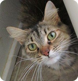 Domestic Mediumhair Cat for adoption in Aiken, South Carolina - GINA