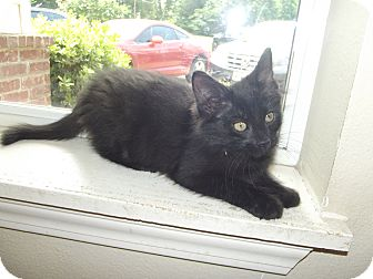 Domestic Shorthair Kitten for adoption in Marshall, Texas - Jaguar