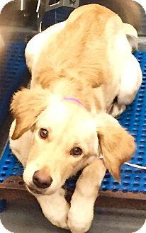 Golden Retriever/Retriever (Unknown Type) Mix Puppy for adoption in HAGGERSTOWN, Maryland - IRIS