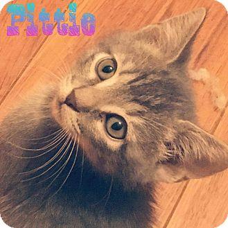 Domestic Mediumhair Kitten for adoption in Mesa, Arizona - Pittie
