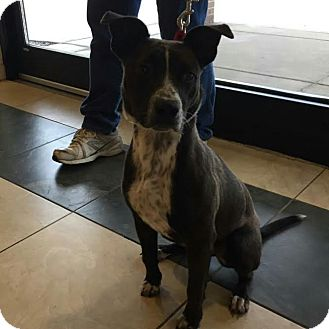 Cattle Dog/Terrier (Unknown Type, Medium) Mix Dog for adoption in Huntley, Illinois - Paisley