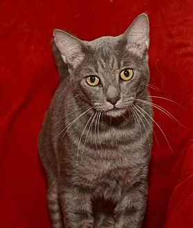 Domestic Shorthair Cat for adoption in Sanford, Florida - Henry *F*