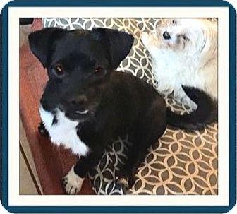 Pug/Dachshund Mix Dog for adoption in Rancho Cucamonga, California - Batman