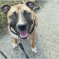 Adopt A Pet :: Buddy - Northville, MI