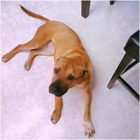 Adopt A Pet :: Layla - Spruce Grove, AB