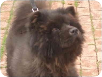 Chow Chow Dog for adoption in Auburn, California - Adelle