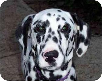 Dalmatian Puppy for adoption in Pacific Grove, California - Tillie