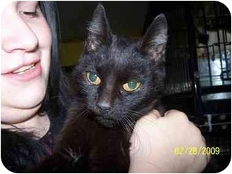 Domestic Shorthair Cat for adoption in Shelbyville, Kentucky - Jillian