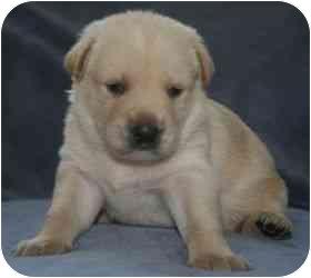 Labrador Retriever Mix Puppy for adoption in San Diego, California - APRIL'S PUPPY - REMBRANDT