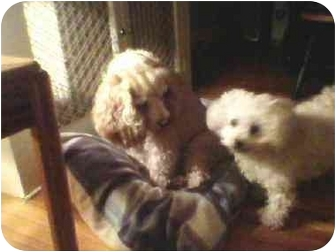 Cocker Spaniel Mix Dog for adoption in Wilmington, Massachusetts - Gibson