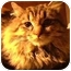 Photo 1 - Maine Coon Kitten for adoption in Tracy, California - Snuggers-PENDING