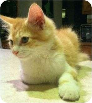 Domestic Shorthair Kitten for adoption in Centerburg, Ohio - Ostin