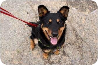 Rottweiler/Australian Kelpie Mix Dog for adoption in Yuba City, California - Penny