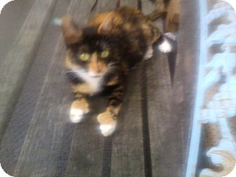 Domestic Shorthair Cat for adoption in Carey, Ohio - Mitten paw Momma