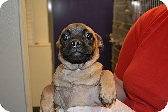 Pug Mix Puppy for adoption in Edwardsville, Illinois - Rudolf