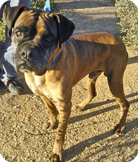 Boxer Dog for adoption in Scottsdale, Arizona - Captain