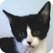 Domestic Shorthair Kitten for adoption in Flagstaff, Arizona - Tinker Bell