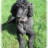 Adopt A Pet :: Bella - Dayton, OH