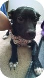 Terrier (Unknown Type, Small)/Labrador Retriever Mix Puppy for adoption in Las Vegas, Nevada - Abby