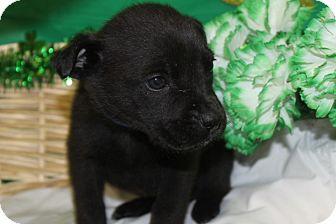 Hound (Unknown Type) Mix Puppy for adoption in Waldorf, Maryland - Parcheese