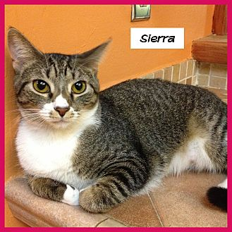 Domestic Shorthair Cat for adoption in Miami, Florida - Sierra