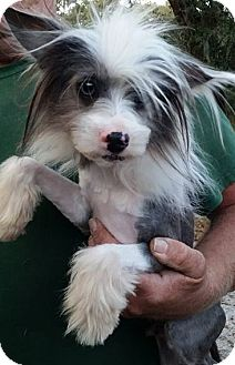 Chinese Crested Mix Dog for adoption in Gainesville, Florida - Mr. McPuffin
