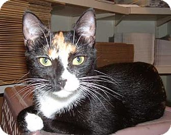 Domestic Shorthair Cat for adoption in Wakefield, Massachusetts - Sophie
