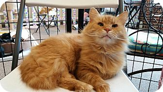 Domestic Longhair Cat for adoption in Maryville, Tennessee - Henry