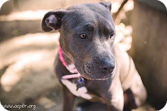 Pit Bull Terrier Mix Dog for adoption in La Habra, California - Violet