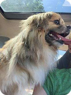 Pekingese/Pomeranian Mix Dog for adoption in Pennsauken, New Jersey - Louie