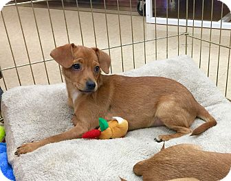 Chihuahua Mix Puppy for adoption in Smithtown, New York - Atom