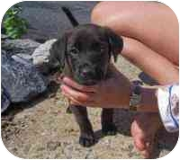 Labrador Retriever/Retriever (Unknown Type) Mix Puppy for adoption in Rockville, Maryland - Beetle